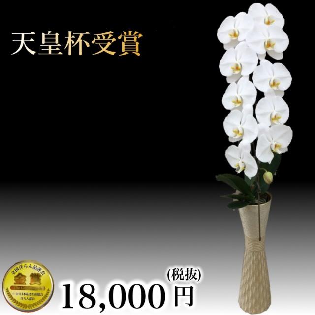 胡蝶蘭1本立ち白
