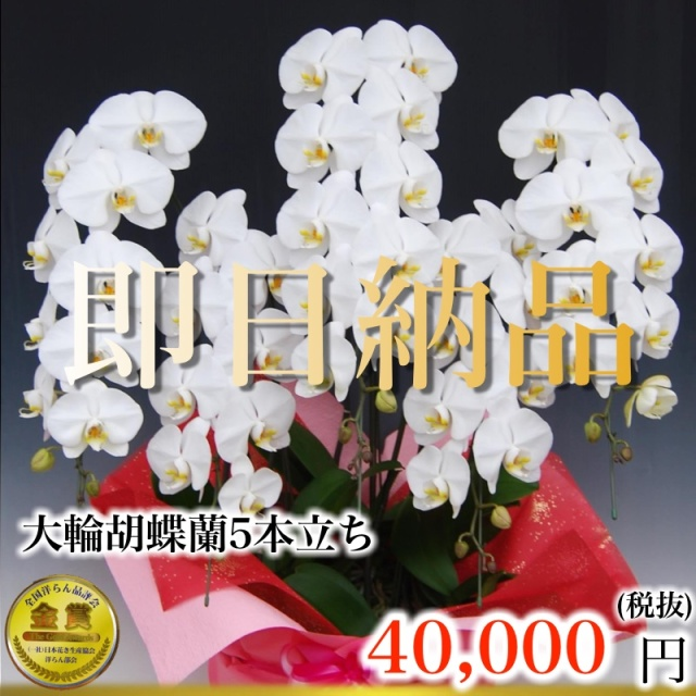 当日納品大輪胡蝶蘭5本立ち3万