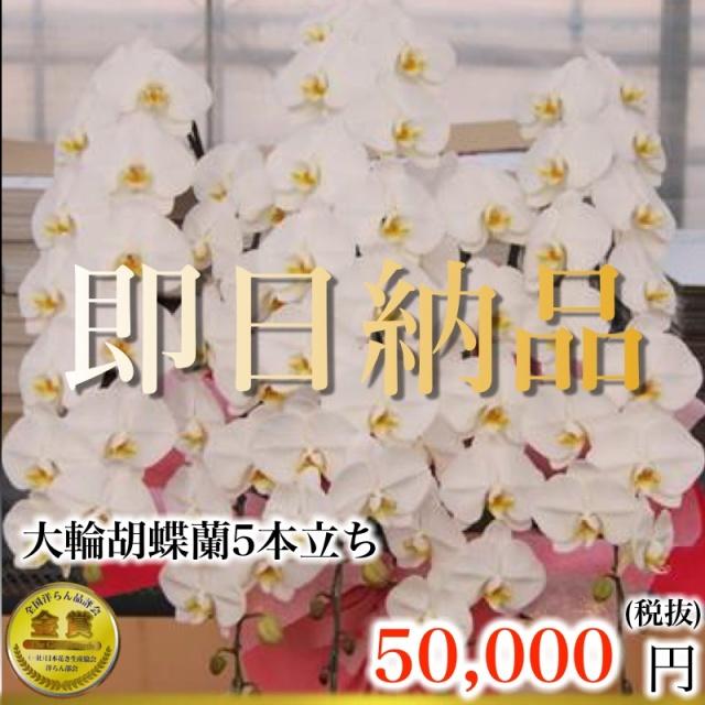 当日納品大輪胡蝶蘭5本立ち5万