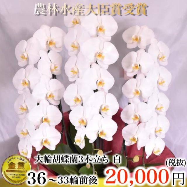 白大輪胡蝶蘭3本立ち33輪