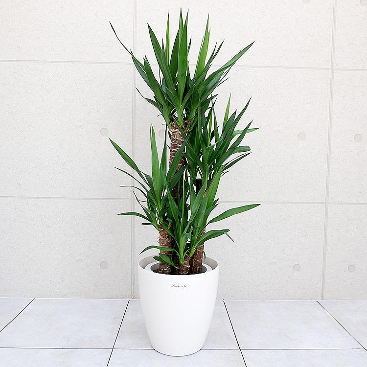 ユッカ(青年の木) 8号鉢