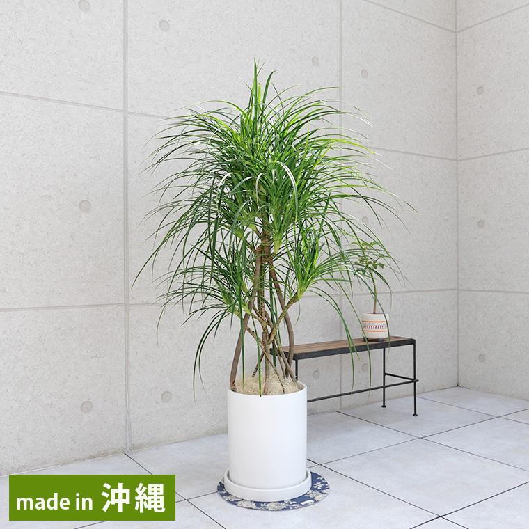 ヒメタコノキ(パンダナス) 陶器鉢植え・Mサイズ(マットシリーズ/シリンダー)