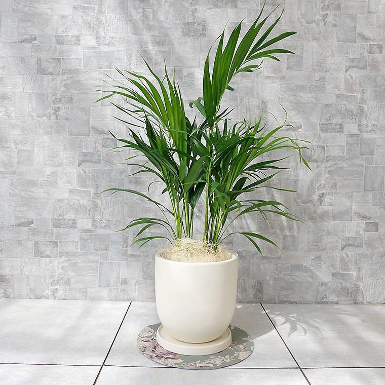 スーパーアレカヤシ 陶器鉢植え・Mサイズ(マットシリーズ/シェッド)