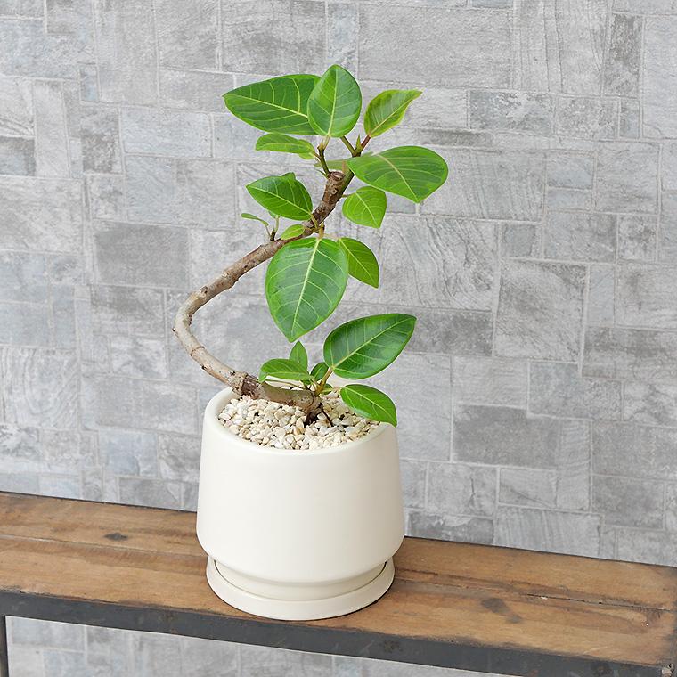 フィカス・アルテシーマ トルネード仕立て 陶器鉢植え・Sサイズ(マットシリーズ/モルティ)