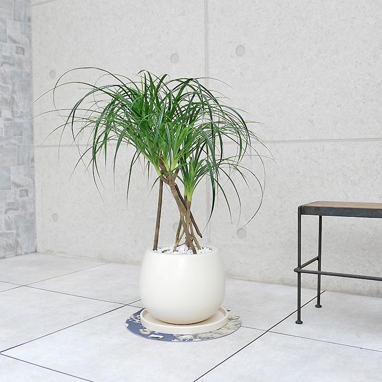 姫タコノキ(パンダナス) 陶器鉢植え・Mサイズ(マットシリーズ/ムーン)