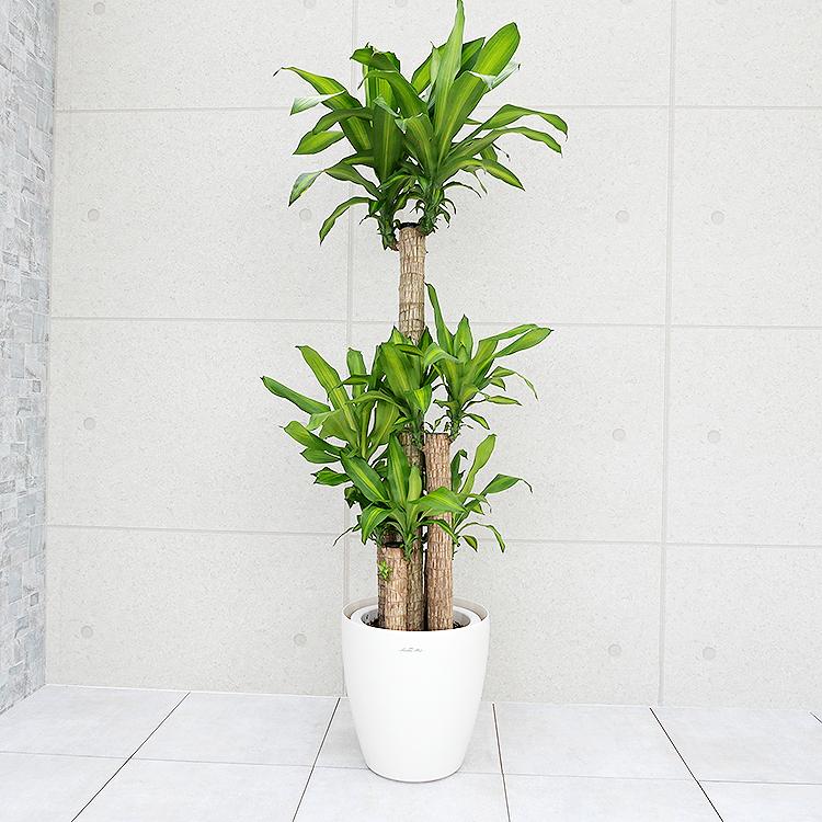 ドラセナ・マッサンゲアナ(幸福の木) 10号鉢