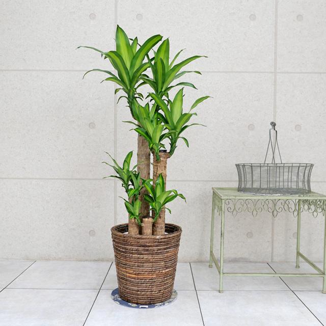 ドラセナ・マッサンゲアナ(幸福の木) 8号鉢