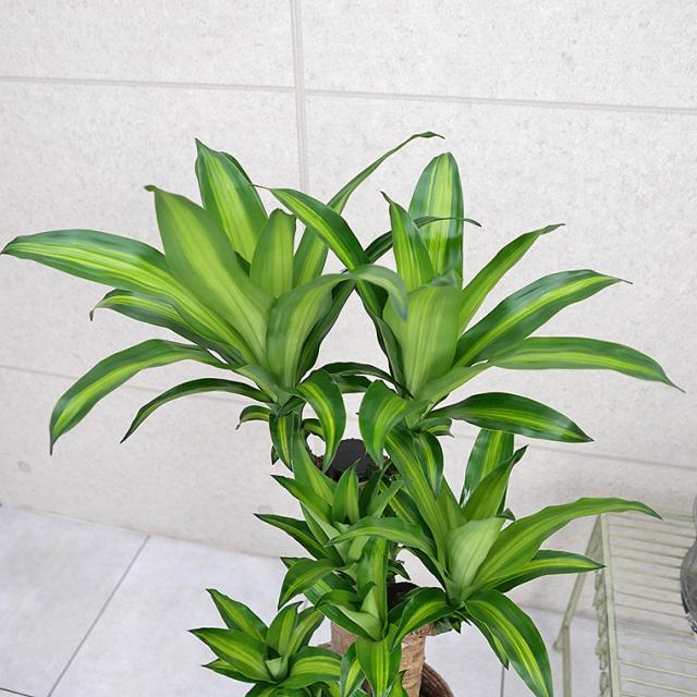 ドラセナ・マッサンゲアナ(幸福の木) 葉の写真