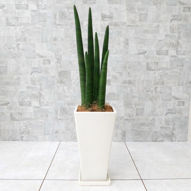 サンスベリア・スタッキー 陶器鉢植え・Mサイズ(マットシリーズ/フレイア)