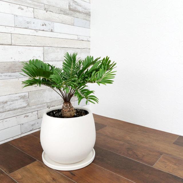 ザミア・フロリダーナ 陶器鉢植え・Mサイズ(マットシリーズ/ムーン)