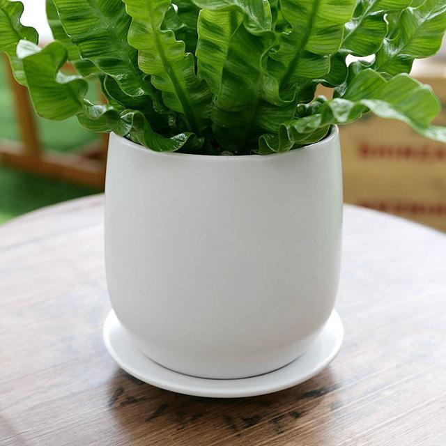 アスプレニウム・エメラルドウェーブ 陶器鉢植え・Sサイズ(マットシリーズ/ボール)