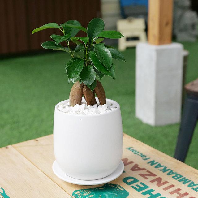 人参ガジュマル 陶器鉢植え・Sサイズ(マットシリーズ/ボール)
