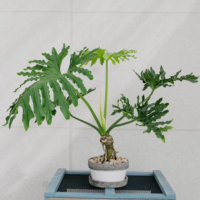 セローム・幹上がり 陶器鉢植え(ポプラント/シャロー)