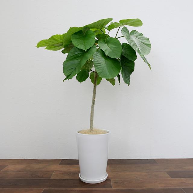 フィカス・ウンベラータ 陶器鉢植え(ラウンド)