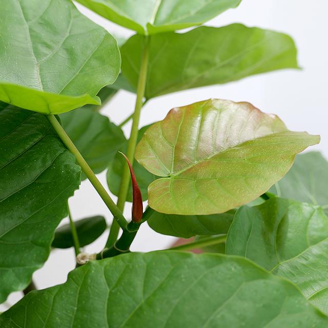 フィカス・ウンベラータ 新芽の写真