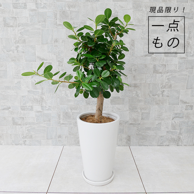 パンダガジュマル-001 陶器鉢植え・Mサイズ(ラウンド)
