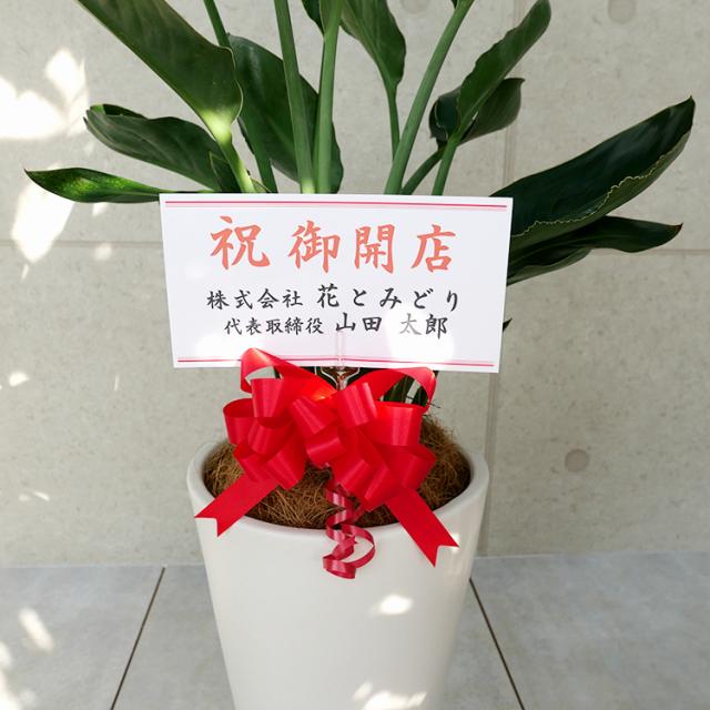 ストレチア・レギネ 陶器鉢植え・Lサイズ(マットシリーズ/シーズン) 立札のイメージ写真