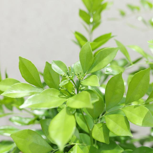 シルクジャスミンの葉