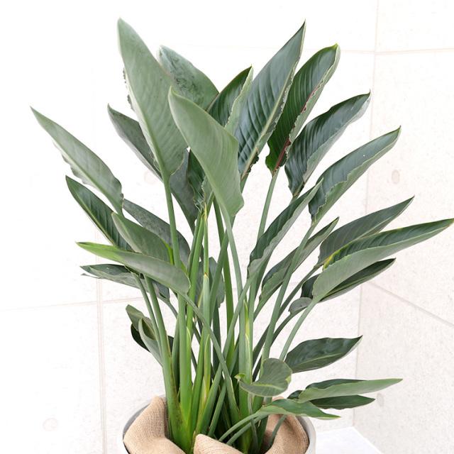 ストレチア・レギネの葉