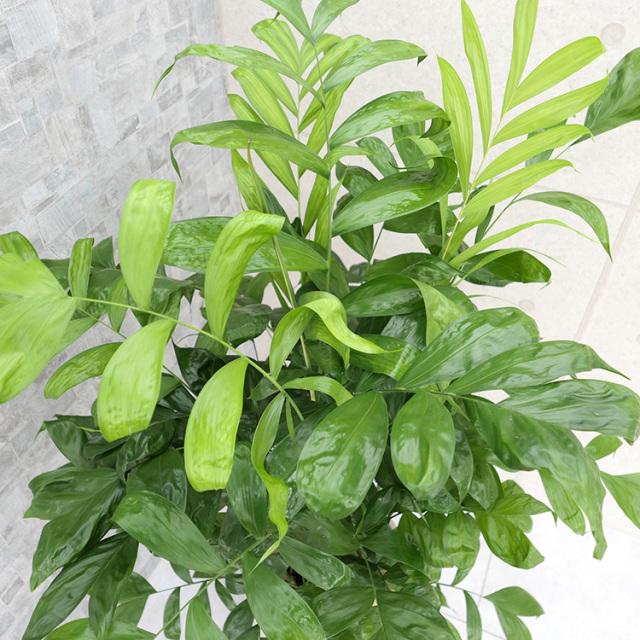 コウセイチャメドレアの葉