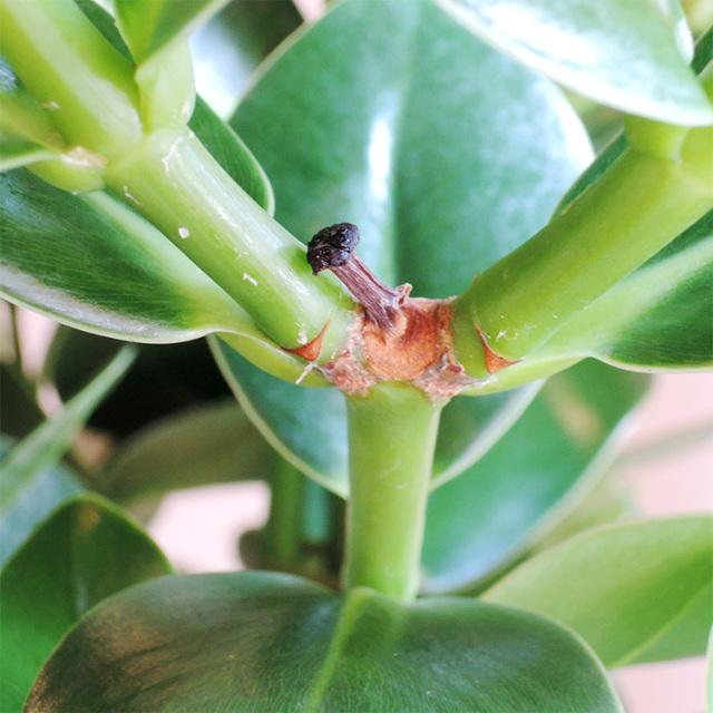 クルシア 葉の写真