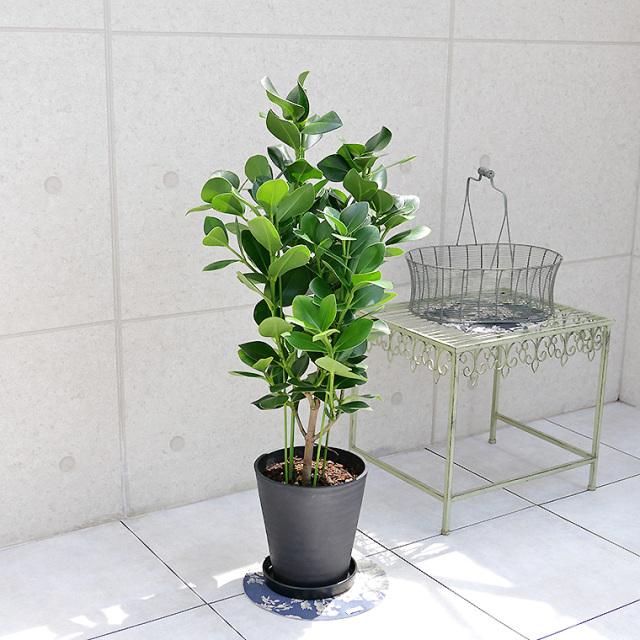 クルシア・ロゼア 8号セラート鉢