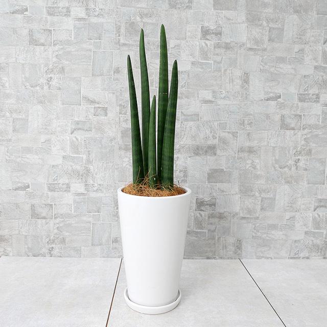 サンスベリア・スタッキー 陶器鉢植え・Mサイズ(ラウンド)