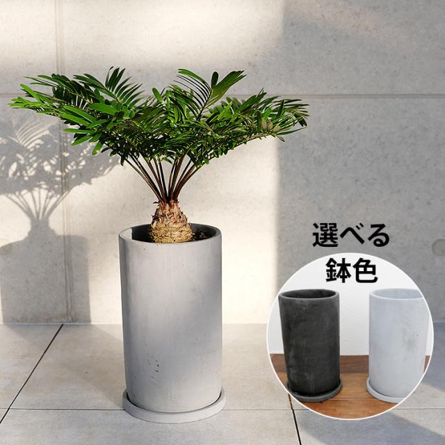 ザミア・フロリダーナ 陶器鉢植え(プチトール)