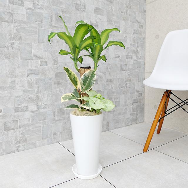 ドラセナマッサン(幸福の木)の寄せ植え 陶器鉢植え・Sサイズ