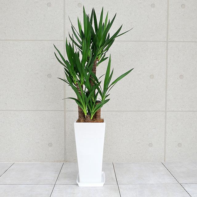 ユッカ(青年の木) 陶器鉢植え・Lサイズ