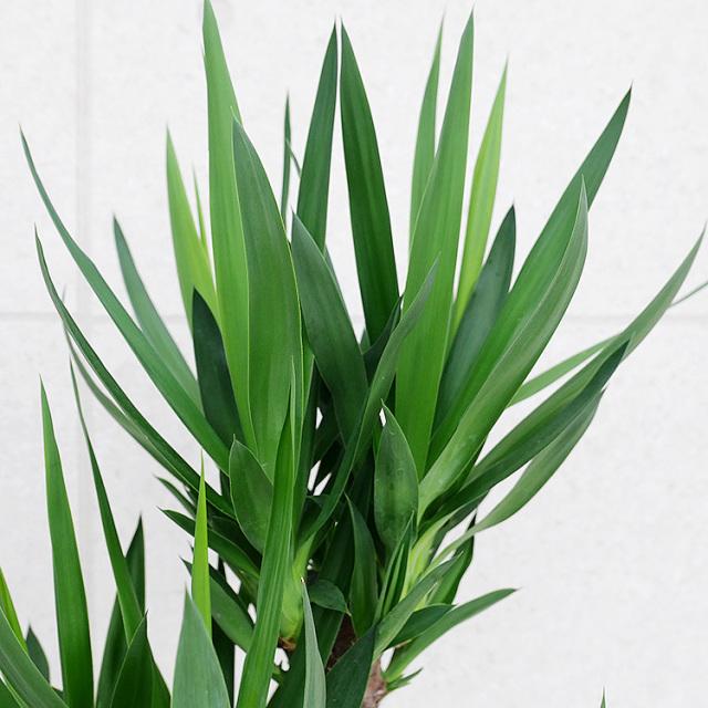 ユッカ(青年の木) 葉の写真