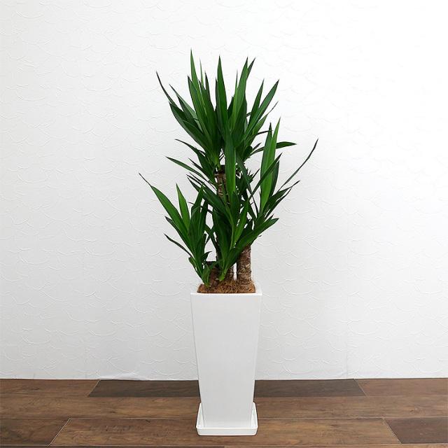 ユッカ(青年の木) 陶器鉢植え・Mサイズ