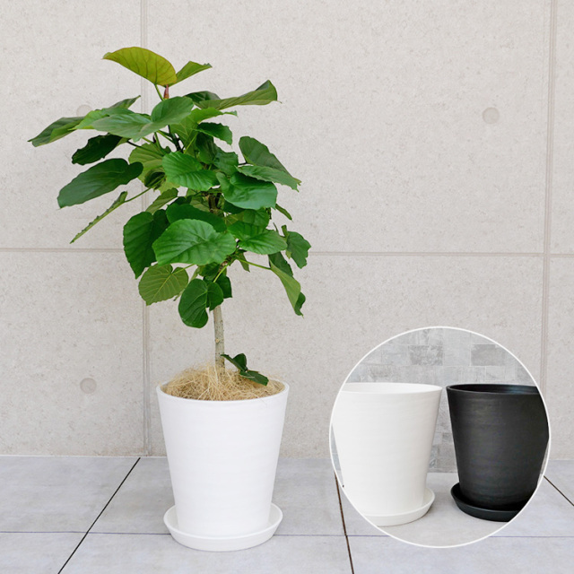 フィカス・ウンベラータ 8号セラート鉢