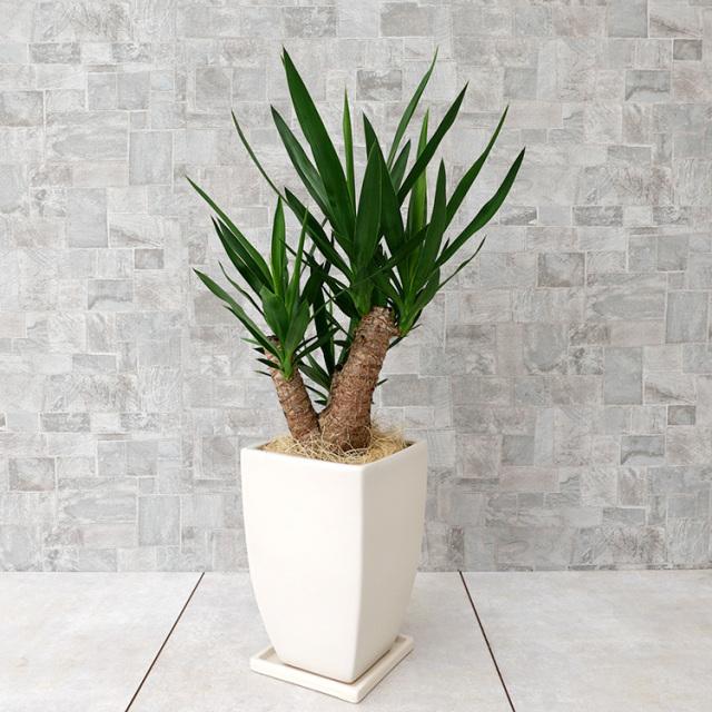 ユッカ ブランチ仕立て 陶器鉢植え・Mサイズ(マットシリーズ/マーブル)