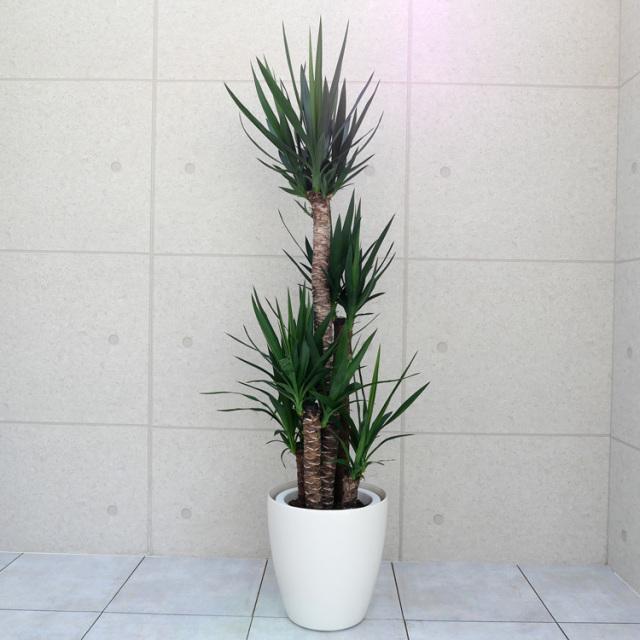 ユッカ(青年の木) 10号鉢