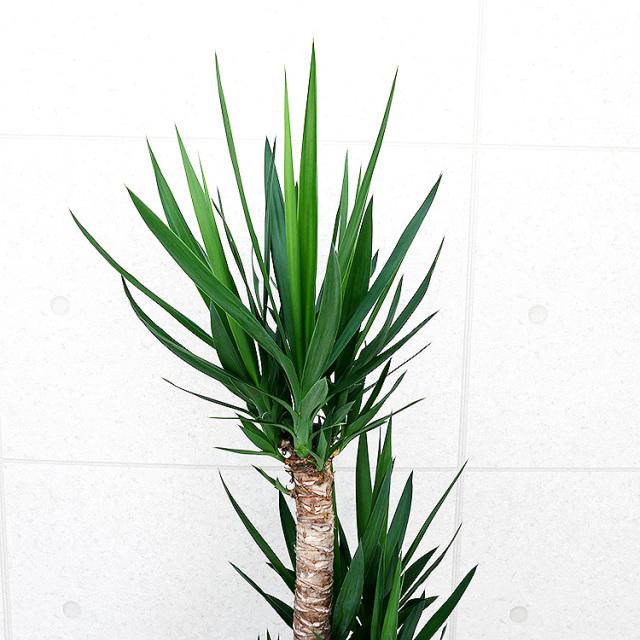 ユッカ(青年の木) 10号鉢 葉の写真