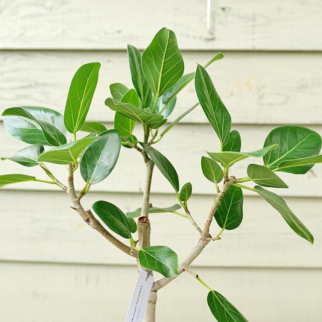フィカス・ベンガレンシス 樹形の写真