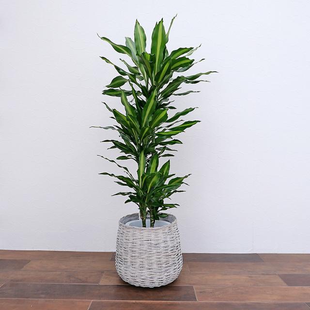 ドラセナ・ジュレ 8号鉢