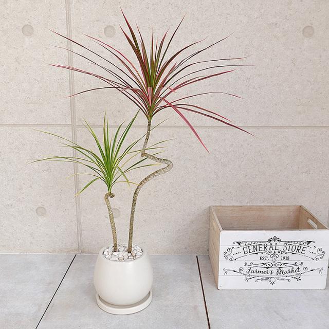 ドラセナ・コンシンネ 2色植え 陶器鉢植え・Sサイズ(マットシリーズ/ムーン)