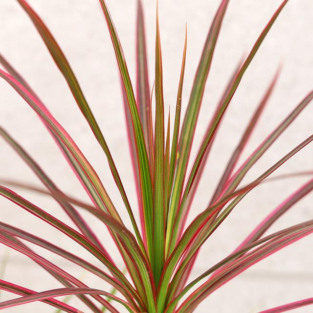 ドラセナ・コンシンネ 2色植え 葉の写真