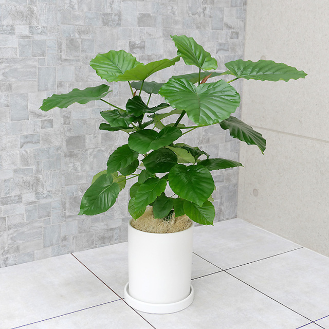 フィカス・ウンベラータ 陶器鉢植え・Mサイズ(マットシリーズ/シリンダー)