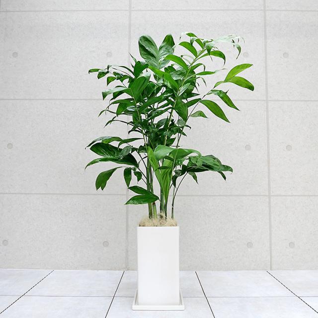 コウセイチャメドレア 陶器鉢植え・Lサイズ(マットシリーズ/プリズム)