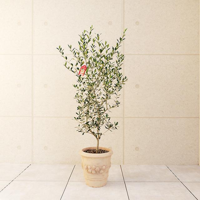 オリーブ・エルグレコ 鉢植え・Lサイズ(モンテガロ)