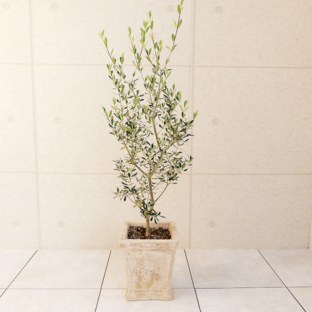 オリーブ・エルグレコ 鉢植え・Lサイズ(ローレル スクエア)