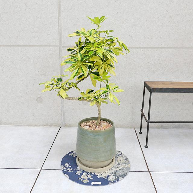 シェフレラ・ハッピーイエロー 陶器鉢植え(テビーシリーズ)