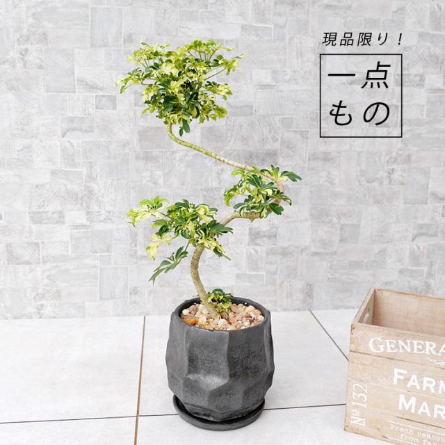 シェフレラ・ジェニーネ-001 陶器鉢植え(カルストシリーズ)