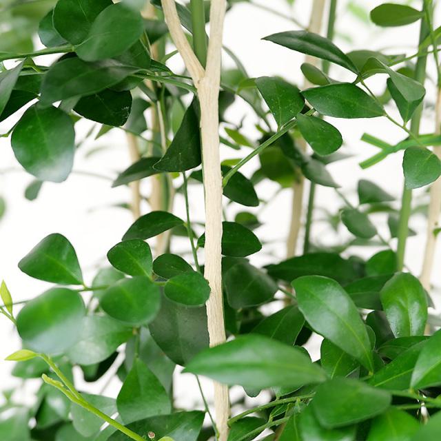シルクジャスミン 葉の写真