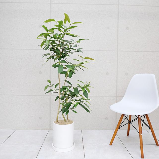 アマゾンオリーブ 陶器鉢植え・Mサイズ(マットシリーズ/シリンダー)