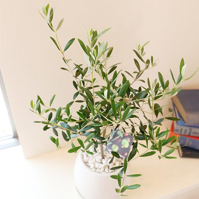 オリーブ 葉の写真
