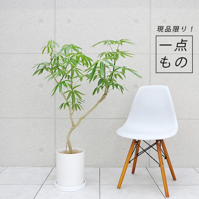 シェフレラ・アンガスティフォーリア-004 陶器鉢植え・Mサイズ(マットシリーズ/シリンダー)